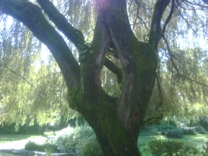 praying hands of a weeping willow