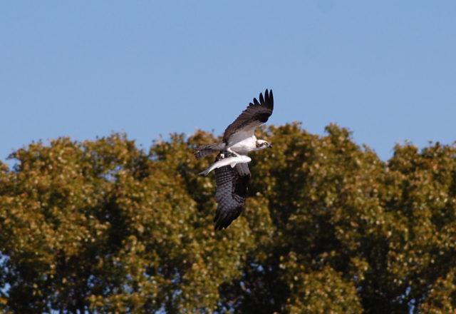 osprey-fla-2013