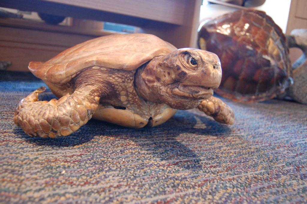 turtle-fla-2013